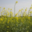 Mustard field — Stock Photo #33288137
