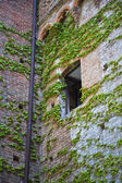 Ivy growing on a wall, Castello Delle Quattro Torra — Stock Photo