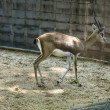Stock Photo: Gazelle in zoo