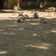 Stock Photo: Gazelles in zoo