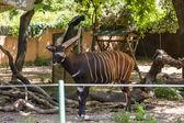 Bongo in a zoo — Stock Photo