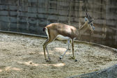 Gazelle in a zoo — 图库照片