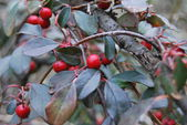 Red berries on bush — Stock Photo