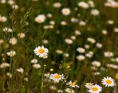 Chamomile field — Stock Photo