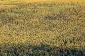 Girasole — Foto Stock