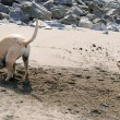 Puggle Sand Shower — Stock Photo