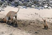 Puggle Sand Shower — Stock Photo