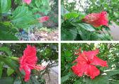Estágios de hibisco — Foto Stock