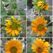 Sunflower Stages — Stock Photo