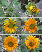 Sunflower Stages — Foto de Stock