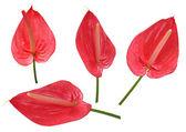 Antoryum çiçeği — Stok fotoğraf