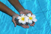 Frangipani flowers in hands in the swimming pool — Stock Photo