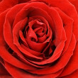 Rose Close Up — Stockfoto #34235061