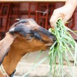 Brown goat eating grass — Stock Photo
