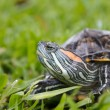 Red Eared Slider Turtle on Grass — Stock Photo