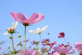 Цветы розовые comos на небо — Стоковое фото