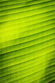 Green banana leaf texture — Foto Stock