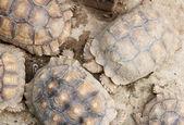 Tortoise, Land turtle — Stock Photo