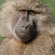 Portrait of wild free baboon — Stock Photo