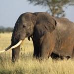 African elephant portrait — Stock Photo