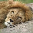 Portrait of african lion — Stock Photo #33780351