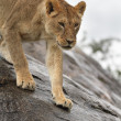 Portrait of african lion — Stock Photo #33780375