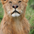 Portrait of african lion — Stock Photo #33780423