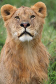 Portrait of african lion — Foto de Stock