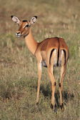 Female impala antelope — 图库照片