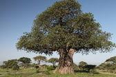 Baobab ağacı — Stok fotoğraf