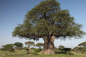 Baobab träd — Stockfoto