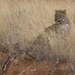 Portrait of wild leopard in grassland savannah — Stock Photo #33867745