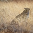 Portrait of wild leopard in grassland savannah — Stock Photo