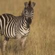 Portrait of wild common zebra — Stock Photo