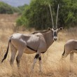 Antelope beisa oryx standing on yellow grass — Stock Photo
