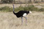 Somali ostrich walking in yellow grass — Stock Photo