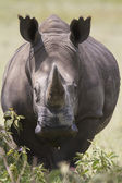 Portrait of wild white rhinoceros — Stock Photo