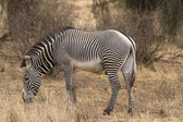 Grevy zebra stallion feeding on grass — Stock Photo
