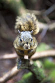 The Poas green-yellow squirrel an endemism from Costa Rica — Stock Photo