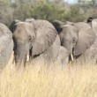 ������, ������: Group of wild african elephants in the savanna
