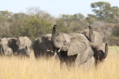 Group of wild african elephants in the savanna — Stock Photo