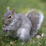 Grey squirrel feeding on the ground — Stock Photo #46969677