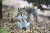 Grey squirrel feeding on the ground — Stock Photo
