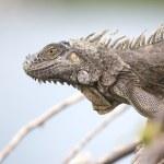 Close up portrait of iguana lizard — Stock Photo #47155405