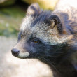 Stock Photo: Raccoon dog