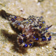 Blue Ringed Octopus — Stock Photo