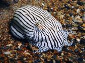 Pajama Squid — Stock Photo