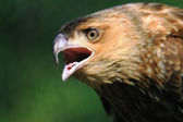 Black Kite Closeup — Stock Photo