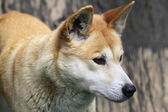 Dingo Closeup — Foto de Stock