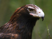 Wedge-Tailed Eagle Closeup — Stock Photo